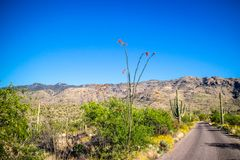 一棵多刺的词根蜡烛木在巨人柱国家公园,亚利桑那 免版税图库摄影