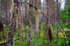 一棵多彩多姿的地衣松萝在桦树分支垂悬在一个狂放的森林里 免版税库存图片