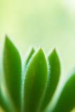 一棵多汁植物的宏指令 免版税库存照片