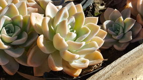 一棵多汁植物 免版税库存图片