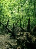 一棵大下落的树的根 图库摄影