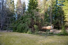 一棵大冷杉被裁减了 库存照片