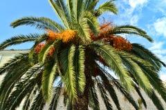 一棵大和厚实的棕榈的绿色分支和叶子 库存图片