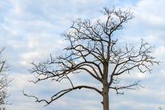 一棵大干燥树 免版税库存照片