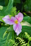 一棵大开花的延龄草的特写镜头 免版税库存照片