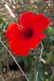 一棵大新鲜的红色木槿本质上 库存图片