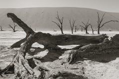 一棵大树在纳米比亚沙漠 免版税库存图片