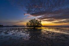一棵大树在美洲红树森林里 免版税图库摄影