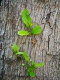 从一棵大树的吠声的新的叶子 库存图片