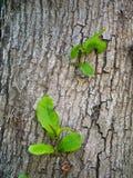 从一棵大树的吠声的新的叶子 图库摄影