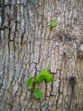 从一棵大树的吠声的新的叶子 免版税库存照片