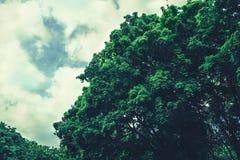 一棵大树的密集的冠 免版税库存图片