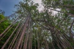一棵大树的气生根 免版税库存照片
