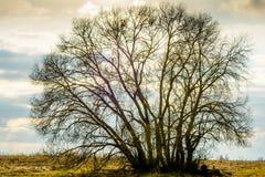 一棵大树,藤,没有叶子的一个冠的剪影,反对晚上白蓝色橙色天空的背景 免版税库存照片