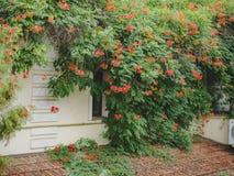 一棵大植物打褶的街道房子的外部 免版税库存照片