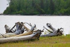 一棵大漂流木头树的根在绿草补丁的  免版税库存照片