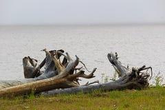 一棵大漂流木头树的根在绿草补丁的  图库摄影
