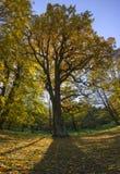 一棵大秋天树在公园投下在下落的叶子的阴影 免版税库存照片