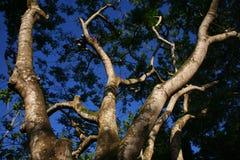 从一棵大老树的低角度的分支 免版税库存图片