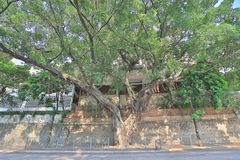 一棵大顶上树的树和的分支  免版税库存照片