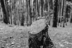 一棵孤独的小的杉木 免版税图库摄影