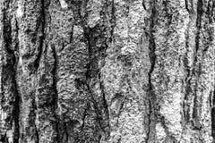 一棵孤独的小的杉木 免版税库存照片
