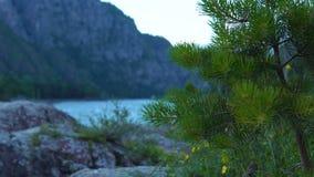 一棵孤立杉树在山河的河岸站立 股票视频