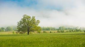 一棵孤立树在一个草甸在一个有雾的早晨 库存图片