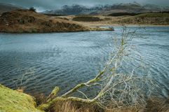 一棵孤立树突出到在Llyn Dywarchen的水里在Snowdonia国家公园 免版税库存照片