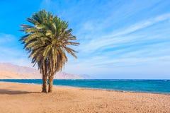 一棵孤立棕榈树 宰海卜海滩 库存图片