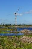 一棵孤立死的树在作为一片人造沼泽地被创造的水域中站立 免版税库存图片