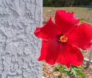 一棵孤零零明亮的红色热带木槿 免版税图库摄影