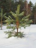 一棵小杉木在冬天森林里 库存图片