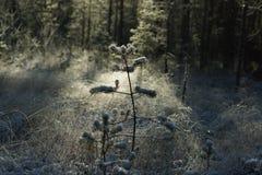 一棵小杉树在用树冰盖的森林沼地在一个晴天 免版税库存图片