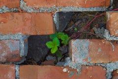 一棵小植物通过砖做它的方式 免版税库存图片