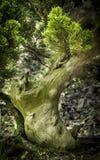 一棵小盆景树的分支和树干 免版税库存图片