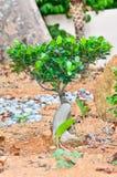 一棵小盆景树 免版税库存图片