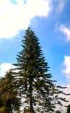 一棵巨型杉树 库存图片