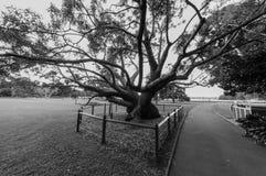 一棵巨型榕属在一个庭院里在悉尼 免版税库存照片