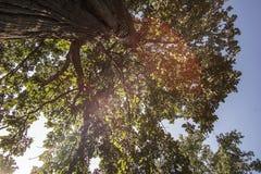 一棵巨型神秘的树 免版税库存图片