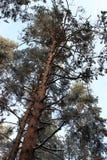 一棵巨大的杉木从下面 免版税库存图片