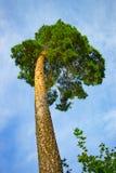 一棵巨大的杉木有从底部的天空视图 库存照片
