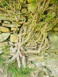 一棵常春藤的大粗糙的树干在一个老石墙上的 免版税库存图片