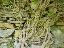 一棵常春藤的大粗糙的树干在一个老石墙上的 免版税库存照片