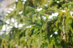 一棵常青圣诞树的分支在雪的在冬天公园 冬天 自然墙纸 冬天的概念 库存图片