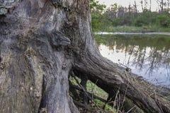 一棵干燥树的根在一个狂放的湖的岸的 图库摄影