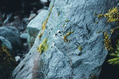 一棵干燥植物的词根以一块湿和大灰色石头为背景的 免版税库存照片