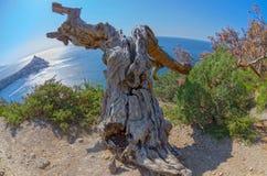 一棵干遗物杉木的破裂的树干 克里米亚山 库存图片