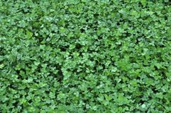 一棵年轻三叶草的春天庄稼 免版税库存照片