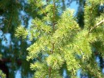 一棵年轻杉木的浅绿色的分支在黑暗的针背景的  免版税库存图片